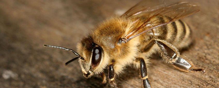 Honingbij, werkster van de ondersoort Apis mellifera carnica (foto: Richard Bartz, CCA-SA-licentie)