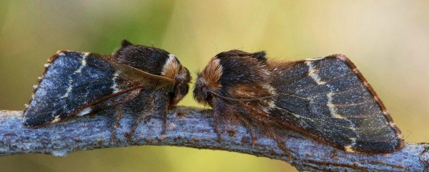 zwarte herfstspinner - primair
