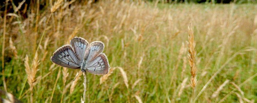 pimpernelblauwtje primair