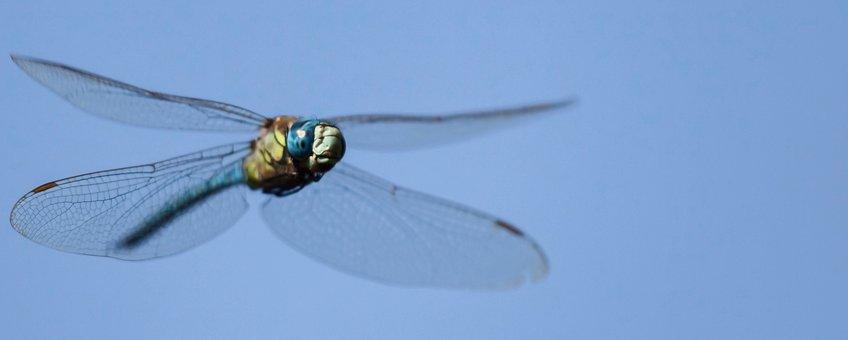 Zuidelijke glazenmaker vliegend - primair