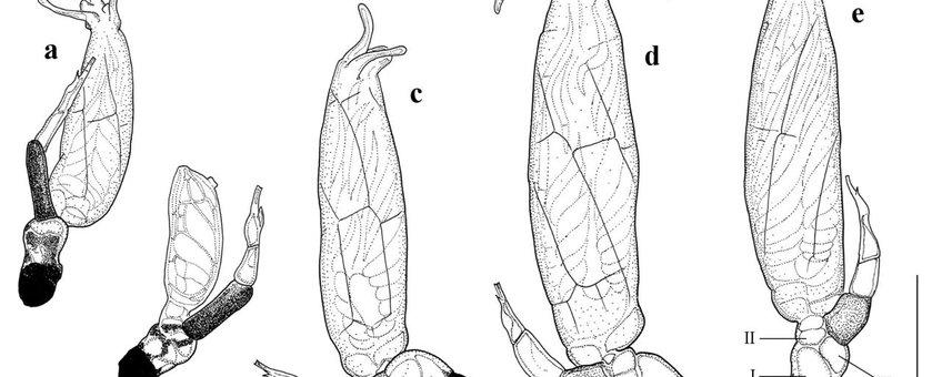 Distolomyces forficulae - Laboulbeniales