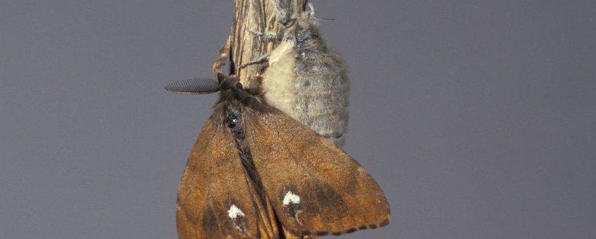 Orgyia antiqua. Witvlakvlinder
