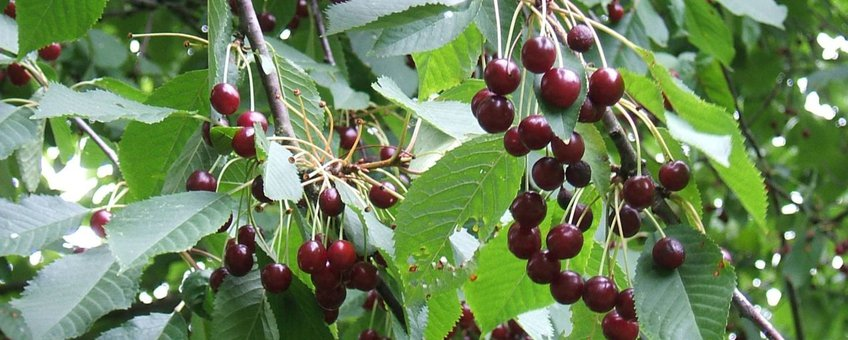Zoete kers, Prunus avium. GNU FD-licentie. Naam fotograaf onbekend
