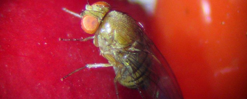 Eiafzet van de suzukii fruitvlieg op cotoneaster
