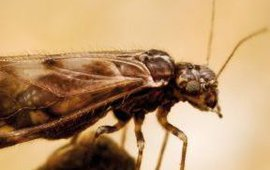 De stofluis Philotarsus parviceps. Foto voor thumbnail
