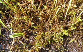 Geel Schorpioenmos, Hamatocaulis vernicosus in de Meppelerdieplanden