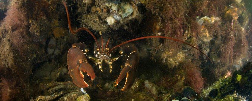 Schelpdierbank met zeekreeft