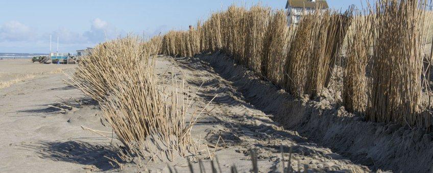 Riet uit Westzaan dient als kustbescherming. Strand Bergen aan Zee