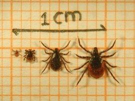 Teken alle stadia. Foto Fedor Gassner, Wageningen Universiteit. Foto niet gebruiken zonder zijn toestemming Van links naar rechts de larve, nimf, mannetje en het vrouwtje van de schapenteek (foto: Fedor Gassner)