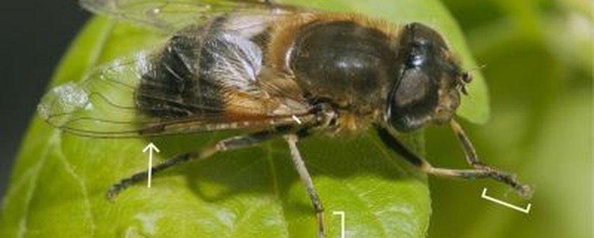 Vrouwtje onvoorspelbare bijvlieg Eristalis similis