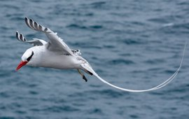 Red-billed tropicbird at Plaza Sur
