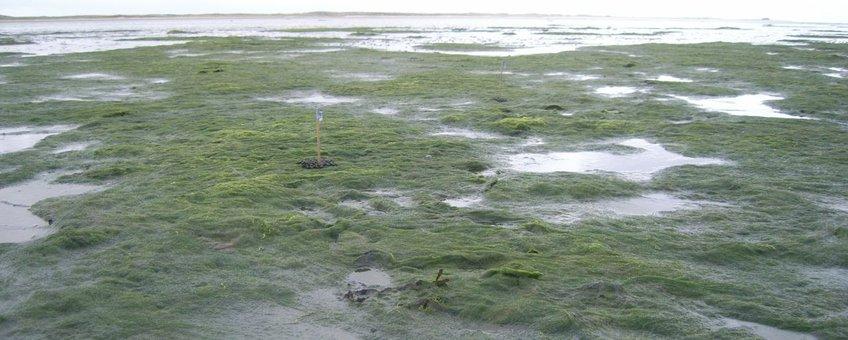 Darmwieren op een getijdeplaat op Sylt, Duitsland