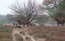 Exmoorpony's in natuurgebied de Maashorst