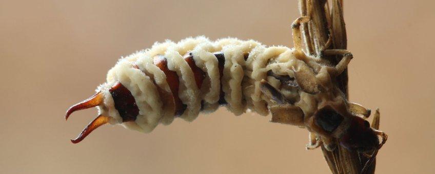 Entomophthora cf. forficulae op oorworm