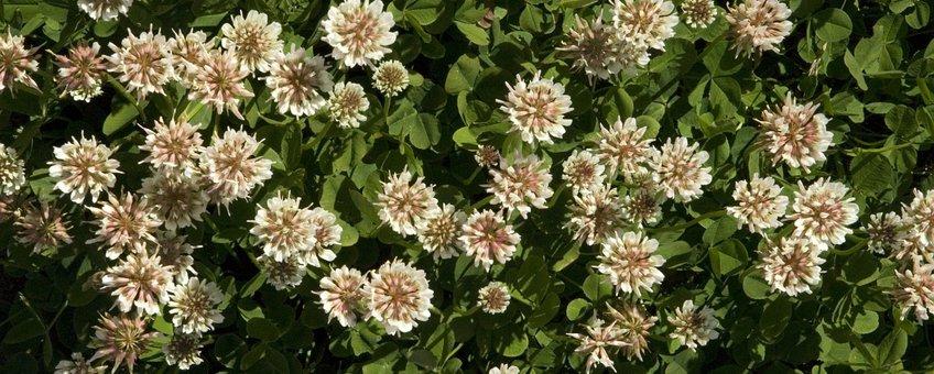 Trifolium repens. Witte klaver