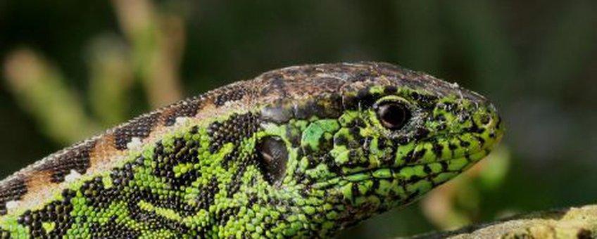 Groen mannetje zandhagedis