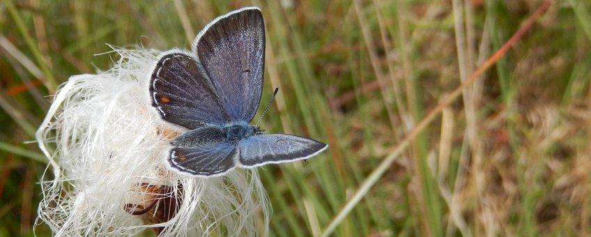 Veenbesblauwtje primair