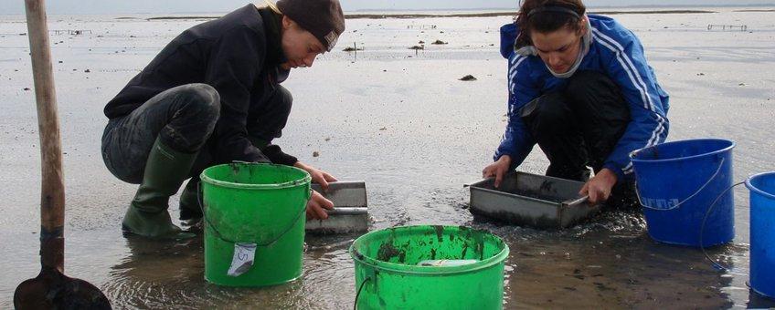Met de hand kokkels uitgraven en tellen langs een traject van de zee naar de dijk. Foto: Britas Klemens Eriksson, Rijksuniversiteit Groningen