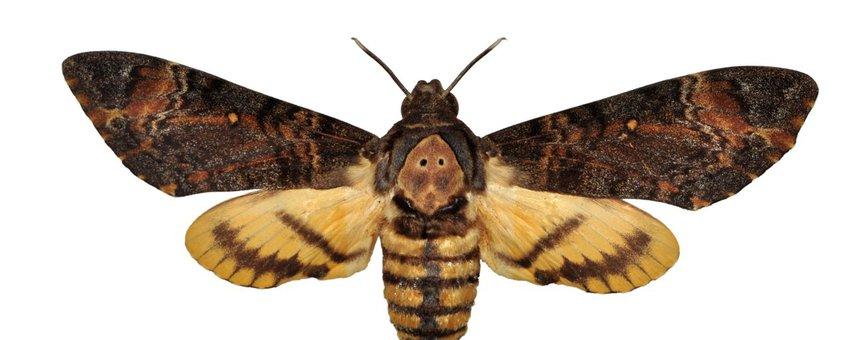 Doodshoofdvlinder - eenmalig gebruik