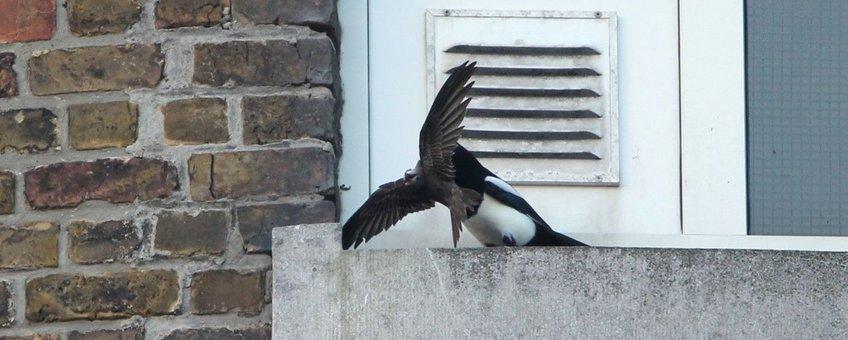 De plaatselijke Ekster vond er niks aan: de Vale Gierzwaluw stortte gewond neer