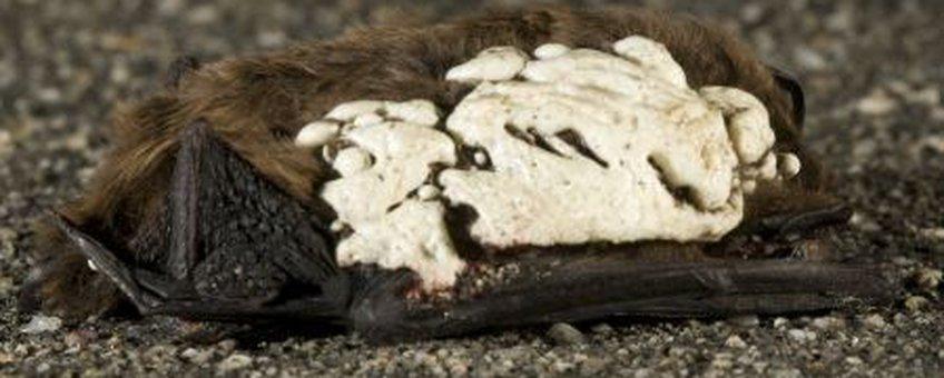 vleermuis met isolatieschuim