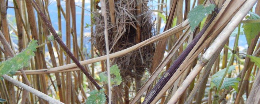 Nest dwergmuis