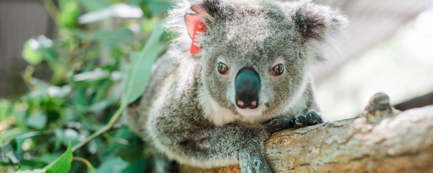 Ember, een geredde koala, op een boomtak in haar verblijf bij IFAW-partner Friends of the Koala