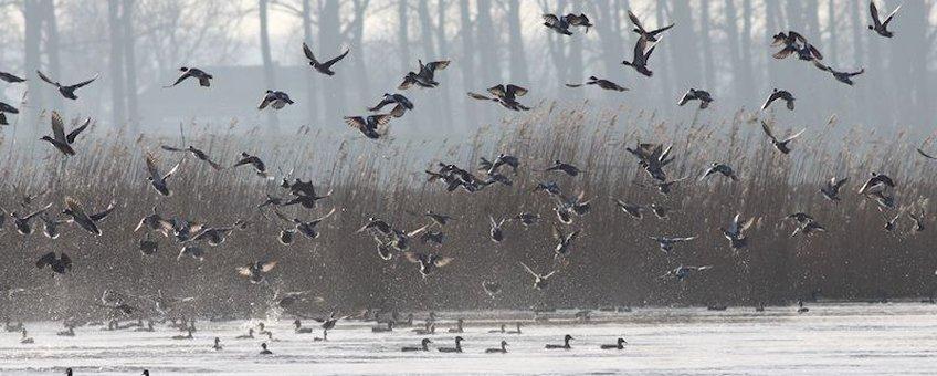 Watervogels, zoals deze smienten, reageren massaal.