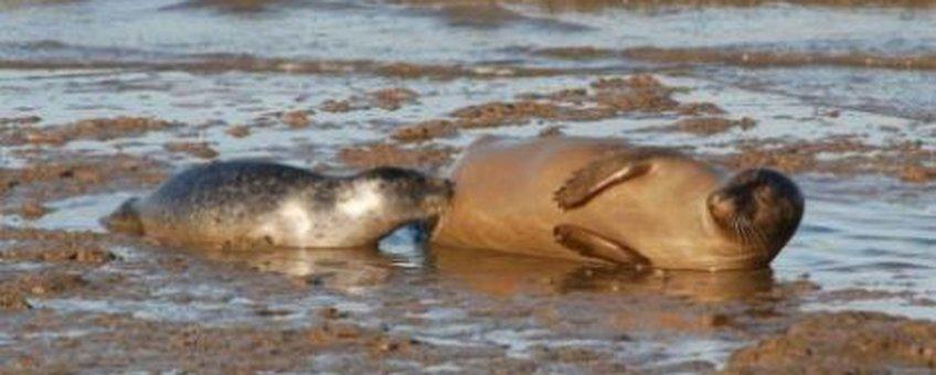 Zogende Zeehond