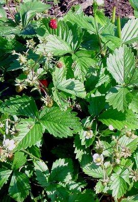 Bosaardbei, wild strawberry, Fragaria vesca