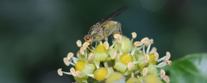 Klimopbloemen met vlieg