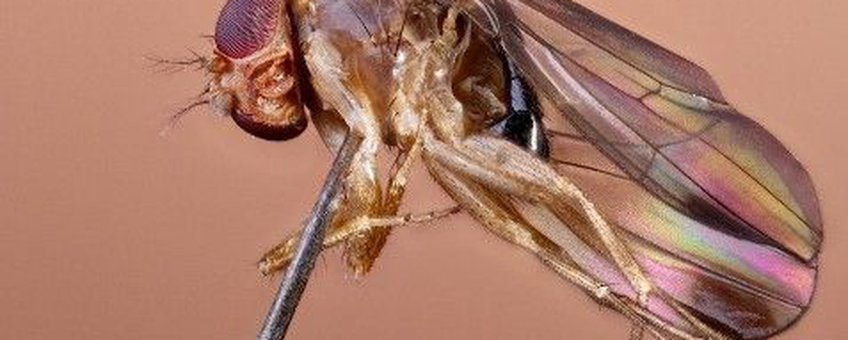 Drosophila suzukii eerste exemplaar in België