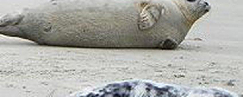 Groep zeehonden thumbnail