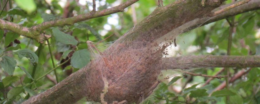hangend nest eikenprocessierups