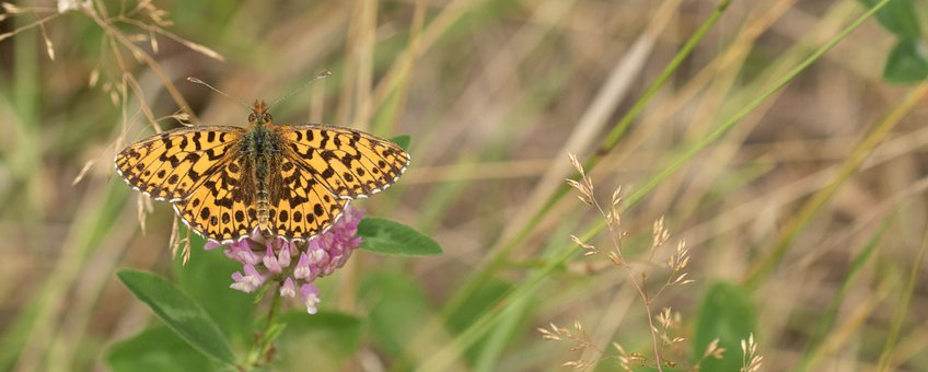 paarse parelmoervlinder - primair