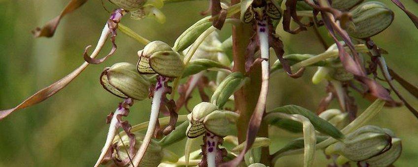 Bokkenorchis (Himantoglossum hircinum)