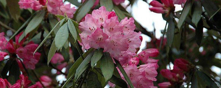 Rhododedron