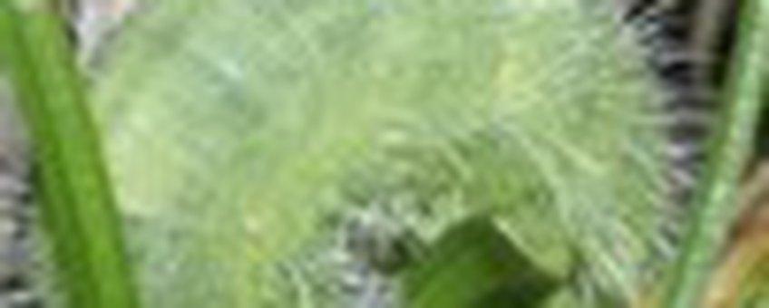 bruin zandoogrups klein