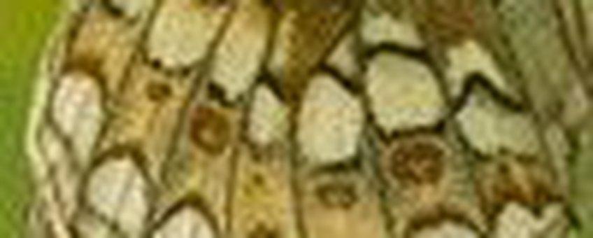 detail duinparelmoer