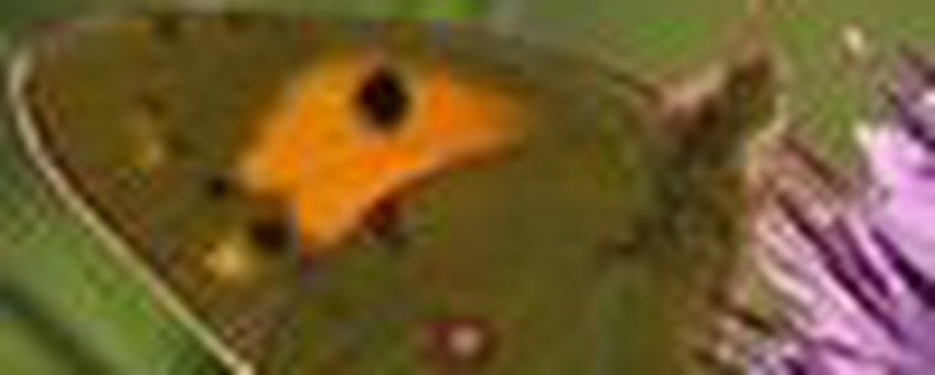 oranje luzernevlinder