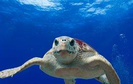 loggerhead seaturtle, onechte karetschildpad
