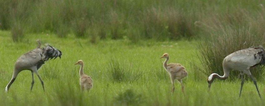 Kraanvogels met jongen van vijf weken oud
