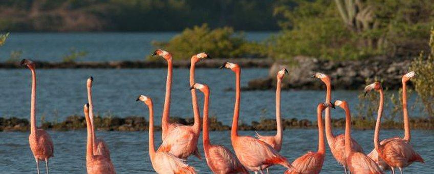 Eenmalig gebruik, Caribbean flamingo, rode flamingo