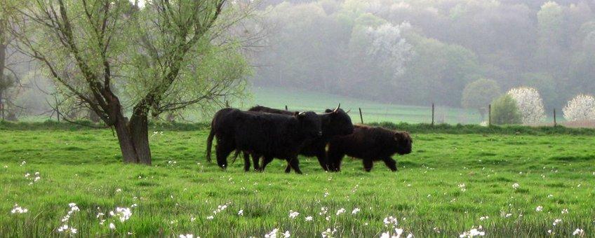Zwarte hooglanders tussen de pinksterbloemen in Wolfhaag.
