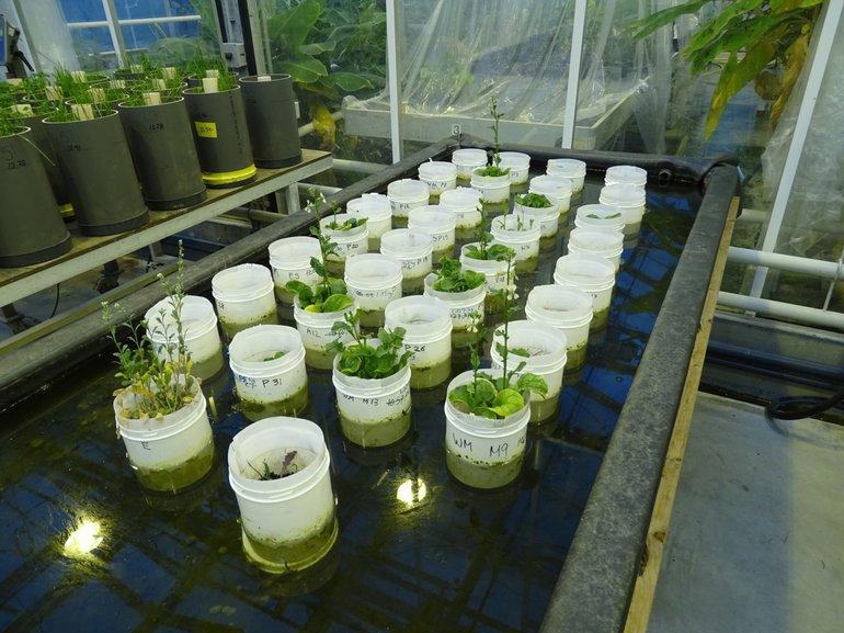 Experiment waarbij verschillende planten zijn gaan bloeien, vooral op Marsbodem simulant. De potten staan in het water om de bodem met de wormen koel te houden. Zij houden van 15 graden terwijl de planten liever 20 graden hebben