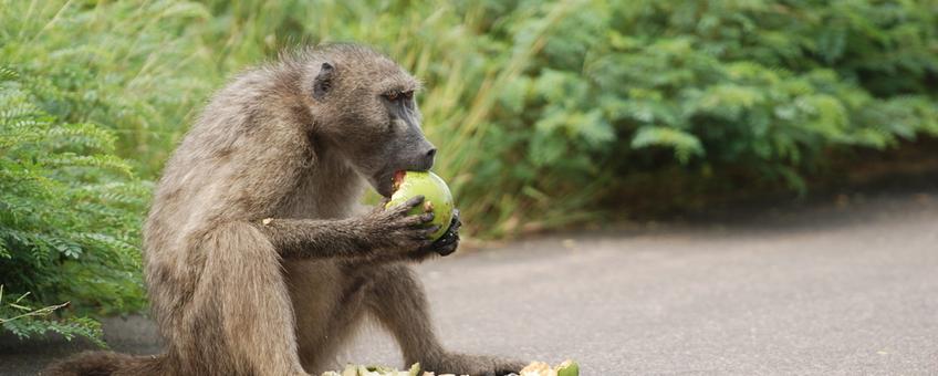 Baviaan langs de weg eet vrucht