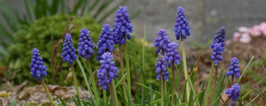 Muscari botryoides. Blauwe druifjes