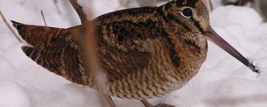 Houtsnip in sneeuw. Fotograaf is onbekend en foto is afkomstig van internet.