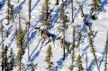 Iconic Canadian species like the boreal woodland caribou are threatened with extinction due to habitat loss, climate change and loss of connectivity through their migratory routes