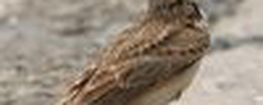 kuifleeuwerik klein